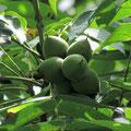 オニグルミの果実