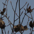 ブナのドングリと冬芽