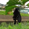 羽化直後のジャコウアゲハ