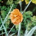Papaver californicum