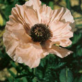 "papaver orientalis ""Turkish Delight"" (""Turkenlouis"")"