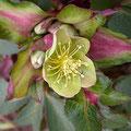 Hellebore foetidus purpurea