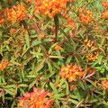 """Euphorbia griffithii """"Fire Glow"""""""
