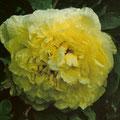 """Paeonia hybride de lutea """"High Noon"""""""