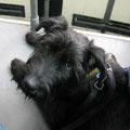Urban Dog in der Straßenbahn
