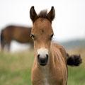 Exmoor-Pony. Noch ganz jung.