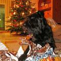 Ein besseres Weihnachtsgeschenk kann man dem Schnauzer nicht machen: Geschenkpapier schreddern!