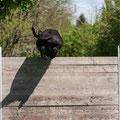 Hochsprung. Manchmal rennt der Schnauz die 1-Meter-Hürde aber auch einfach um... (Foto: Hendrikje Cords)