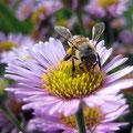 Der Biene schmeckt's! (Porlock Weir)