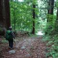 ブナと杉が自生する不思議なルートです。なにせ静かです