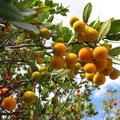 am Boadella See. Keine Ahnung, wie diese Früchte heißen. Sie sind kaum 2 cm groß und wachsen auf Bäumen. Weiß jemand den Namen? -  © Traudi