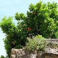 Castelló d'Empuries, Orangenbaum -  © Traudi