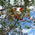 am Boadella-See. Keine Ahnung, wie diese Früchte heißen. Sie sind kaum 2 cm groß und wachsen auf Bäumen. Weiß jemand den Namen?  -  © Traudi