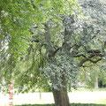ein alterwürdiger Baum im Schlosspark - so stelle ich mir einen Ennt vor