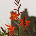 Die Blume Irlands - sie blüht überall - wunderschön