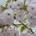 上津橋の村に咲く八重桜