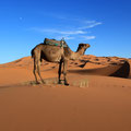 Local wildlife. Sahara Desert.