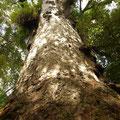 Ein Kauribaum