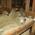 Doch der reihe nach... in diesen Boxen warten die Schafe dicht zusammengedraengt hinter der Pendeltuer...