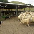 Bis zur letzten Sekunde tun die Hunde ihren Job