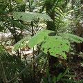 Diese harmlos aussehende Pflanze widerum ist supergefaehrlich. Wenn man diesen Stinger tree beruehrt, hat man tagelang heftige Schmerzen.