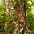 oder hier... dieser Baum ist eigentlich kleiner als die vorher gezeigten...aber hier kam man mal direkt ran.