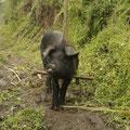 Das arme Schwein muss mit diesem Stick auf dem Kopf rumlaufen... :-) Sieht aus wie ein Einhorn!