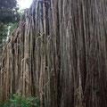 oder den Curtain Fig Tree, dessen Luftwurzeln einen 15 m breiten Vorhang bilden...