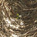 Sie kann sich sozusagen ins gemachte Nest setzen, welches er gebaut hat. Indem er am Ende etwas weisses und gruenes hineinlegt, versucht er sie anzulocken. Witzig, oder? Im Sueden gibt es eine andere Rasse dieses Vogels.Da muss es fuer sie was Blaues sein