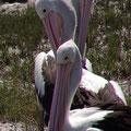 Man sieht Pelikane