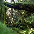 ... zu dem man durch gruenen Mooswald herabsteigt...