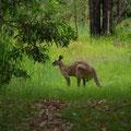 Da... ein Kanguruh... definitiv maennlich!!!!