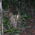 Diese Spinne fanden wir nicht mehr so niedlich.Sie war handgross und hatte ihr Netz ueber unseren gesamten Weg gespannt. Rechts und links war aufgrund dorniger Pflanzen kein Vorbeikommen... wir mussten ihr Netz zerstoeren,um weitergehen zu koennen...