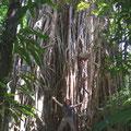 wie beispielsweise den Cathedral Fig Tree