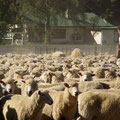 Wir sind mit den Schafen an der Farm angekommen...