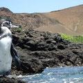 ...und schwimmt zu den Pinguinen.