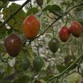 z.B. dem Anbau von Baumtomaten. Nein, das ist kein Ostereierbaum!!!!