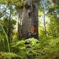 Dieser Stamm hat einen Umfang von 16 Metern. da er aber 30 m weit weg steht, kommt die Groesse nicht so recht rueber...