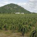 In der Umgebung von Mui Ne gab`s davon unzählige Plantagen.