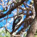 ein Kookaburra...