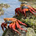 Diese Krabben sind genauso flink.