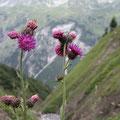 Unterwegs genoss ich die schönen Blumen und Disteln.