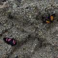 diese Schmetterlinge gab es auch noch in blau, aber der Blaue wollte sich einfach nicht daneben setzen.