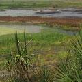 Und hier in den Suempfen fuehlen sich natuerlich die Krokodile wohl.