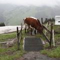 Noch dominierten Schnee und Kühe die Downhillabfahrten.