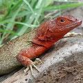 Nur die Weibchen faszinieren durch ihre roten Köpfe.
