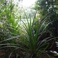 Diese Pflanze beispielsweise findet man nur am Wasser und sie hilft gegen Kopfschmerzen.