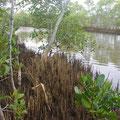 Auch zu Fuss ereichbar... Mon Epos... ein Stueck Mangrovenwald... und am Strand nisten die Meeresschildkroeten...