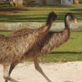 Die Emus sind auch ein wenig hungrig! Sie haben einer Familie sage und schreibe 6 von 10 Wuerstchen direkt vom Grill geklaut. Und gemein, wie ich bin, habe ich Fotos davon gemacht, anstatt sie zu verjagen...