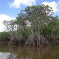 Wie paddeln durch Mangroven...